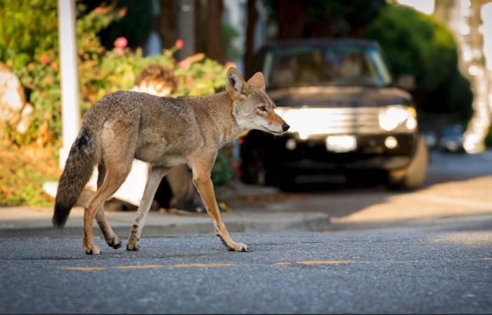 Urban Coyotes Do's & Don'ts